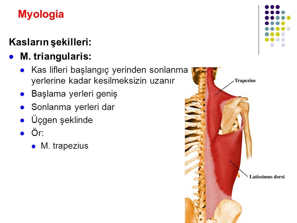 Myologia Kasların şekilleri: M. triangularis: