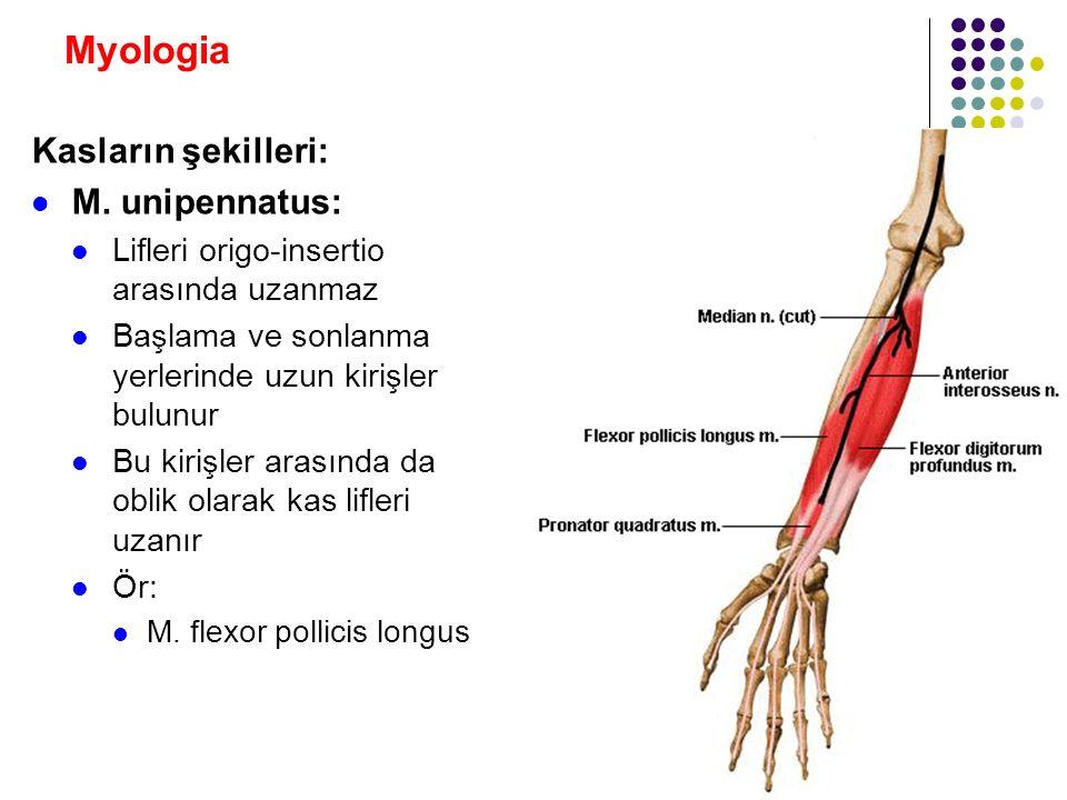 Myologia Kasların şekilleri: M. unipennatus:
