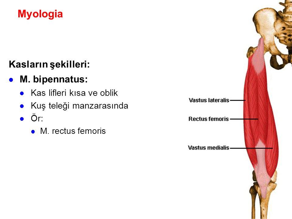 Myologia Kasların şekilleri: M. bipennatus: Kas lifleri kısa ve oblik