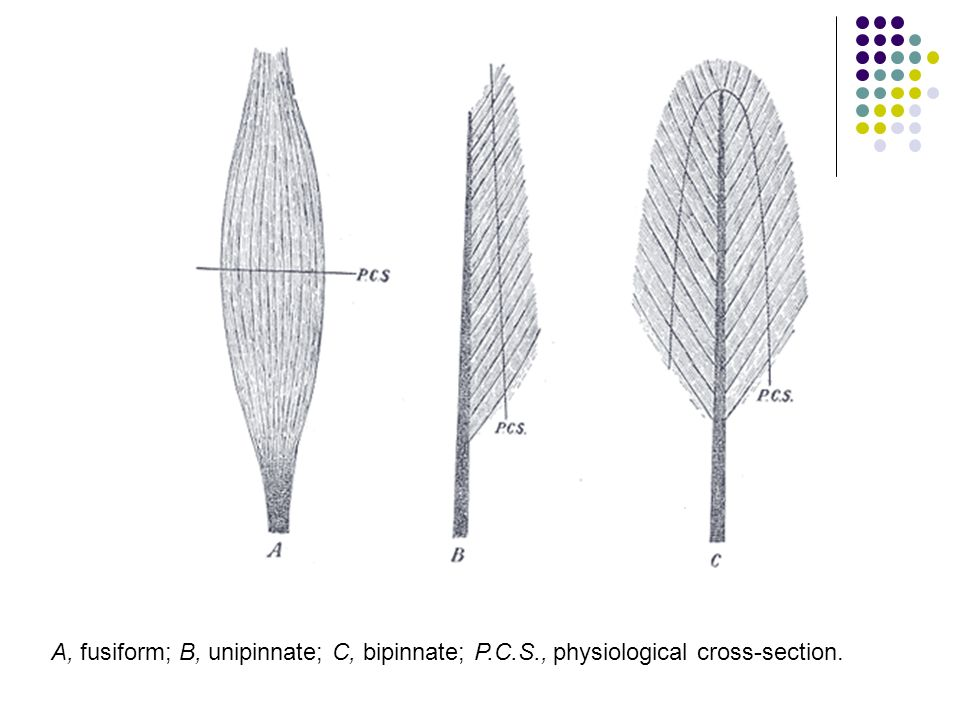 A, fusiform; B, unipinnate; C, bipinnate; P. C. S