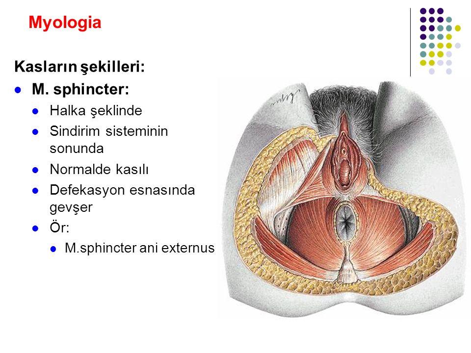 Myologia Kasların şekilleri: M. sphincter: Halka şeklinde
