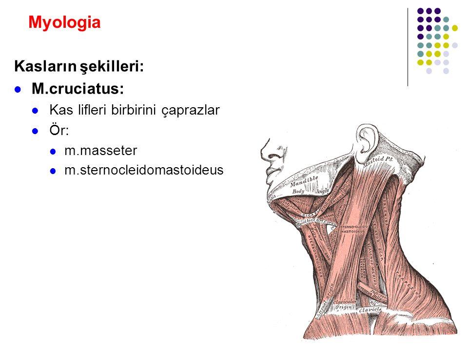 Myologia Kasların şekilleri: M.cruciatus: