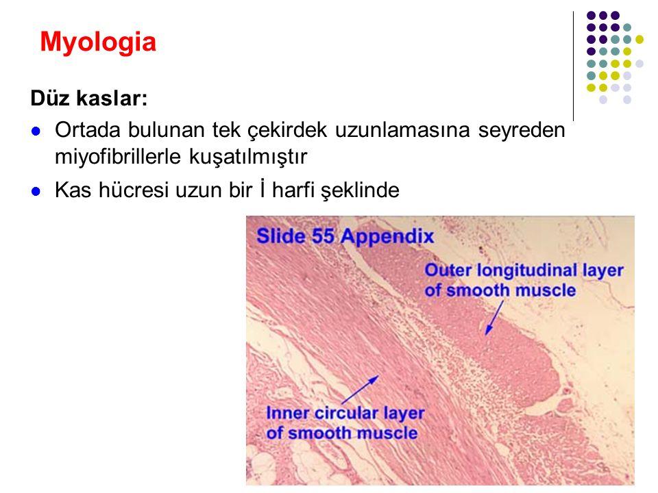 Myologia Düz kaslar: Ortada bulunan tek çekirdek uzunlamasına seyreden miyofibrillerle kuşatılmıştır.