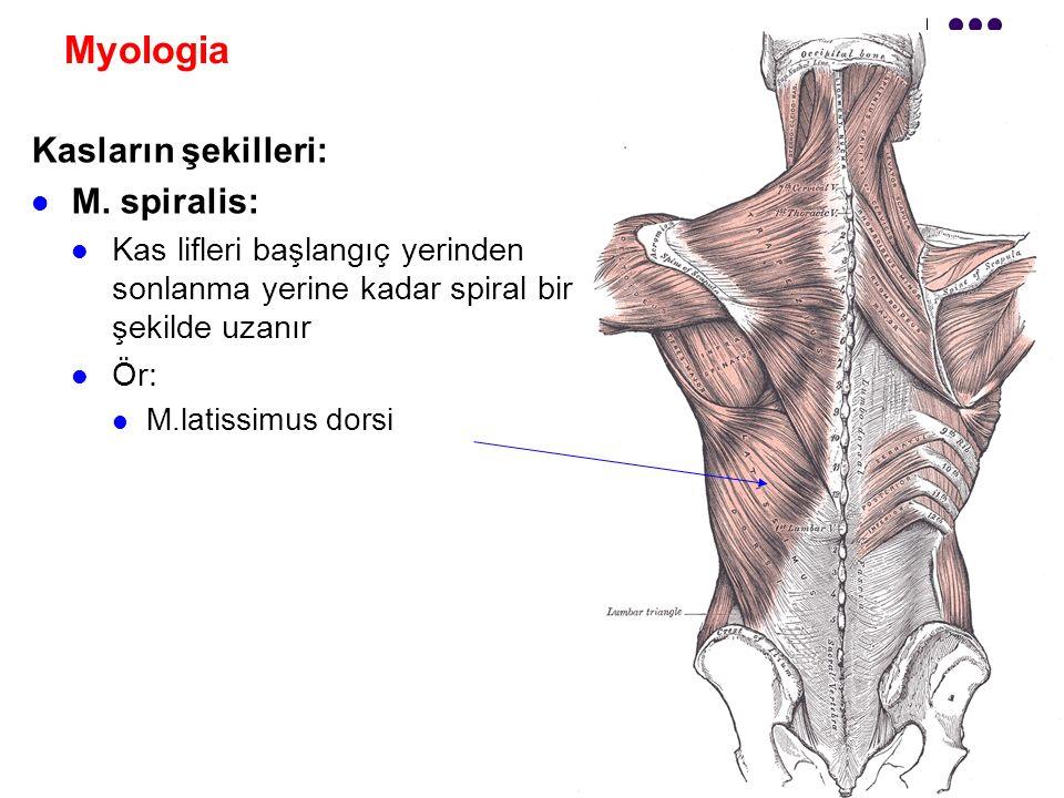 Myologia Kasların şekilleri: M. spiralis: