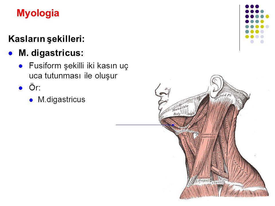 Myologia Kasların şekilleri: M. digastricus: