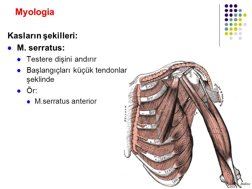 Myologia Kasların şekilleri: M. serratus: Testere dişini andırır