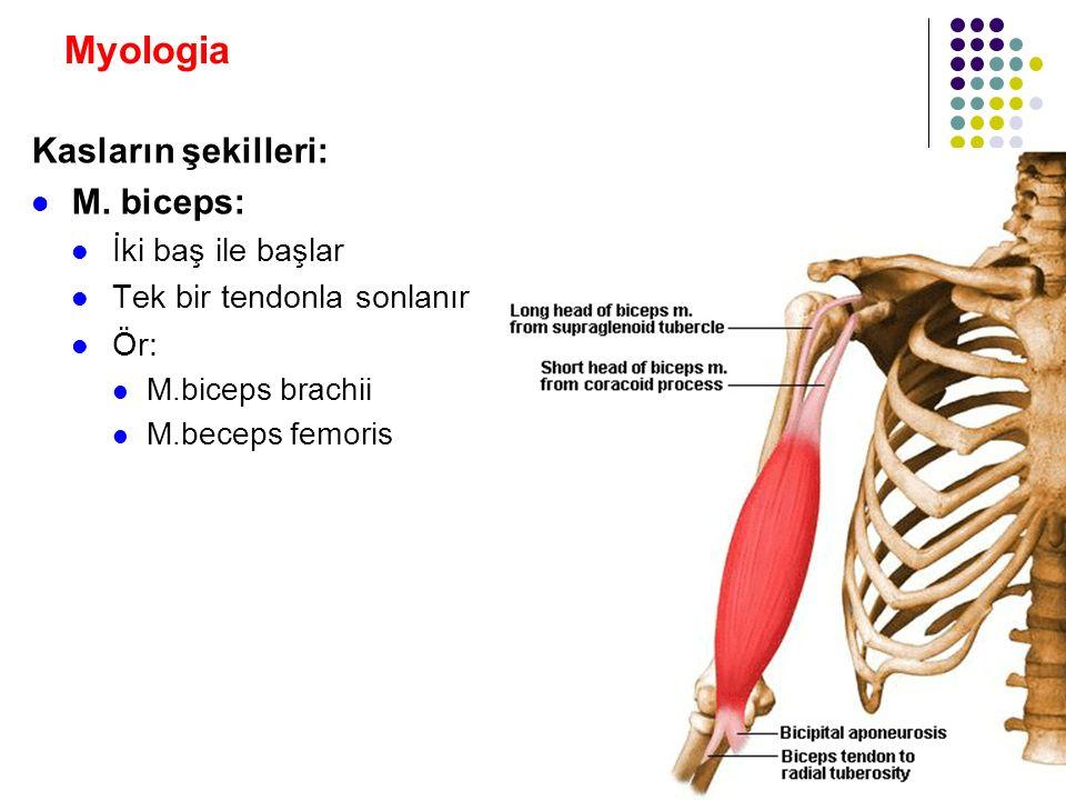 Myologia Kasların şekilleri: M. biceps: İki baş ile başlar