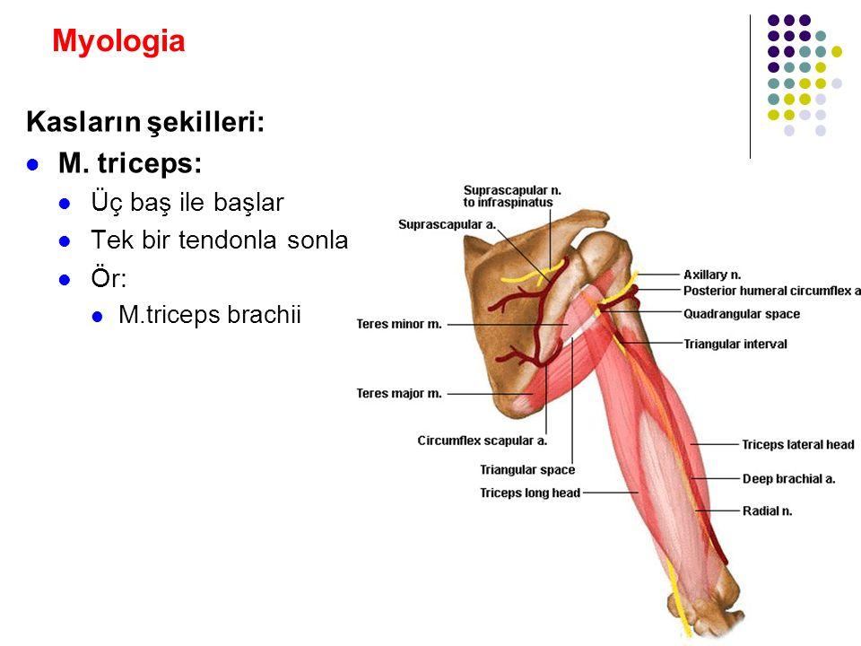 Myologia Kasların şekilleri: M. triceps: Üç baş ile başlar