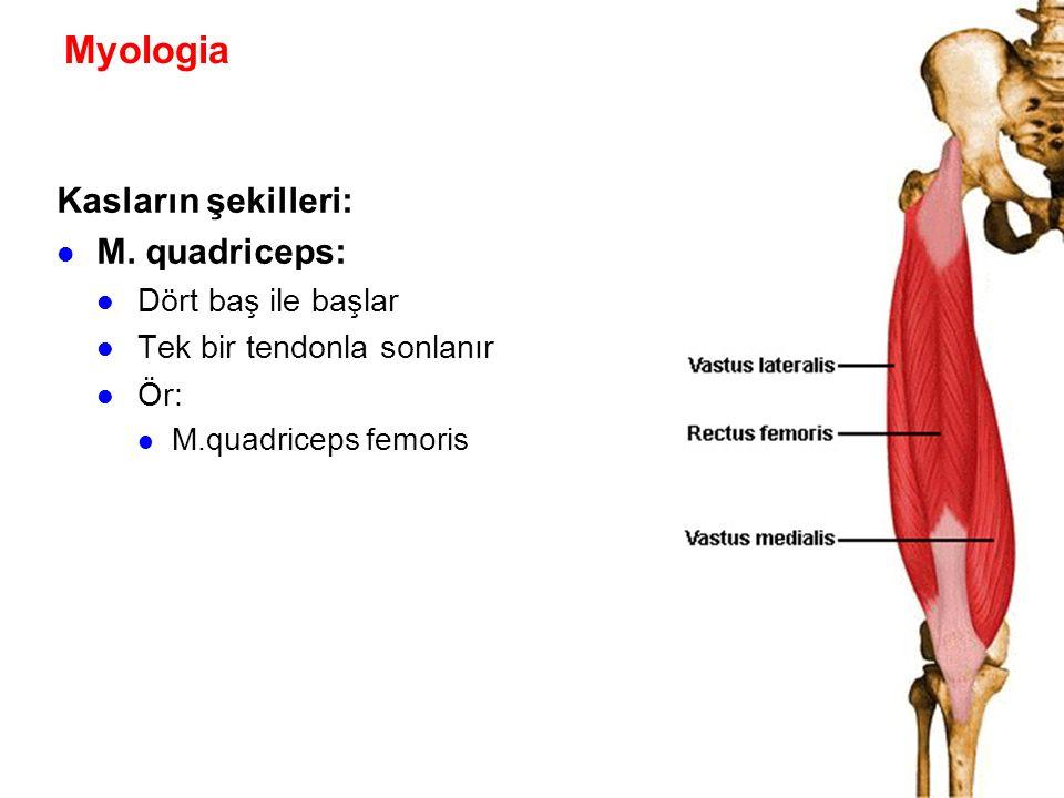 Myologia Kasların şekilleri: M. quadriceps: Dört baş ile başlar