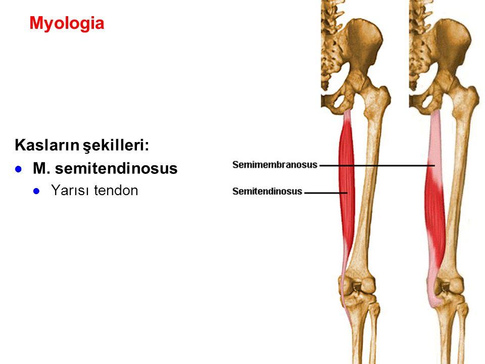 Myologia Kasların şekilleri: M. semitendinosus Yarısı tendon