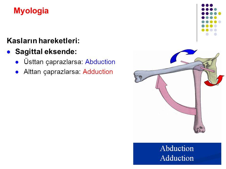 Myologia Kasların hareketleri: Sagittal eksende: