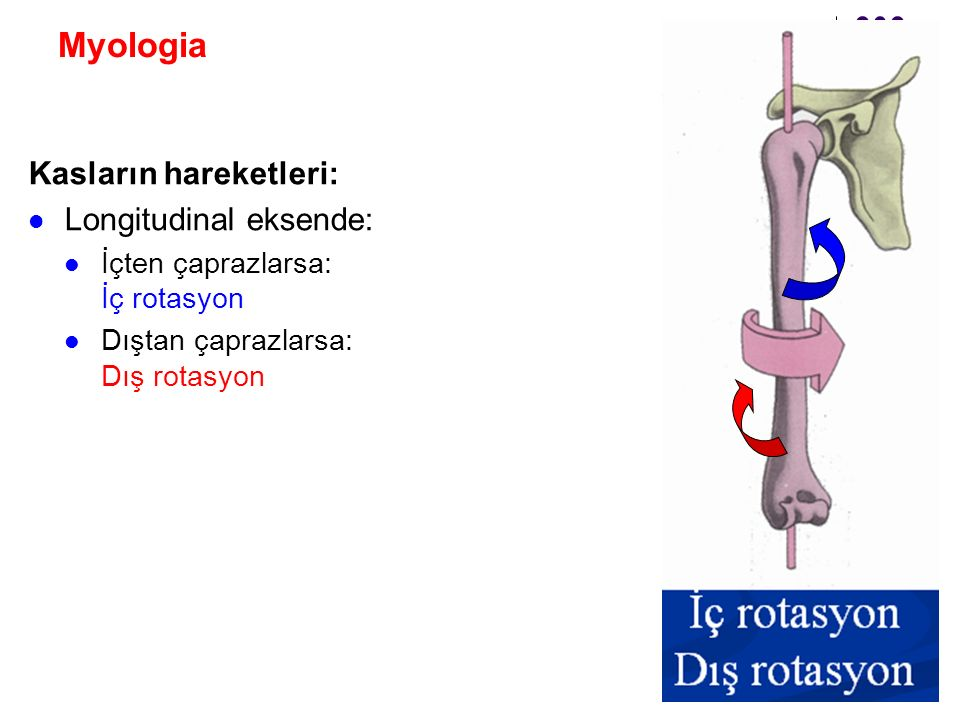Myologia Kasların hareketleri: Longitudinal eksende: