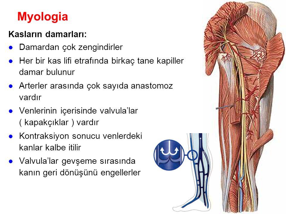 Myologia Kasların damarları: Damardan çok zengindirler