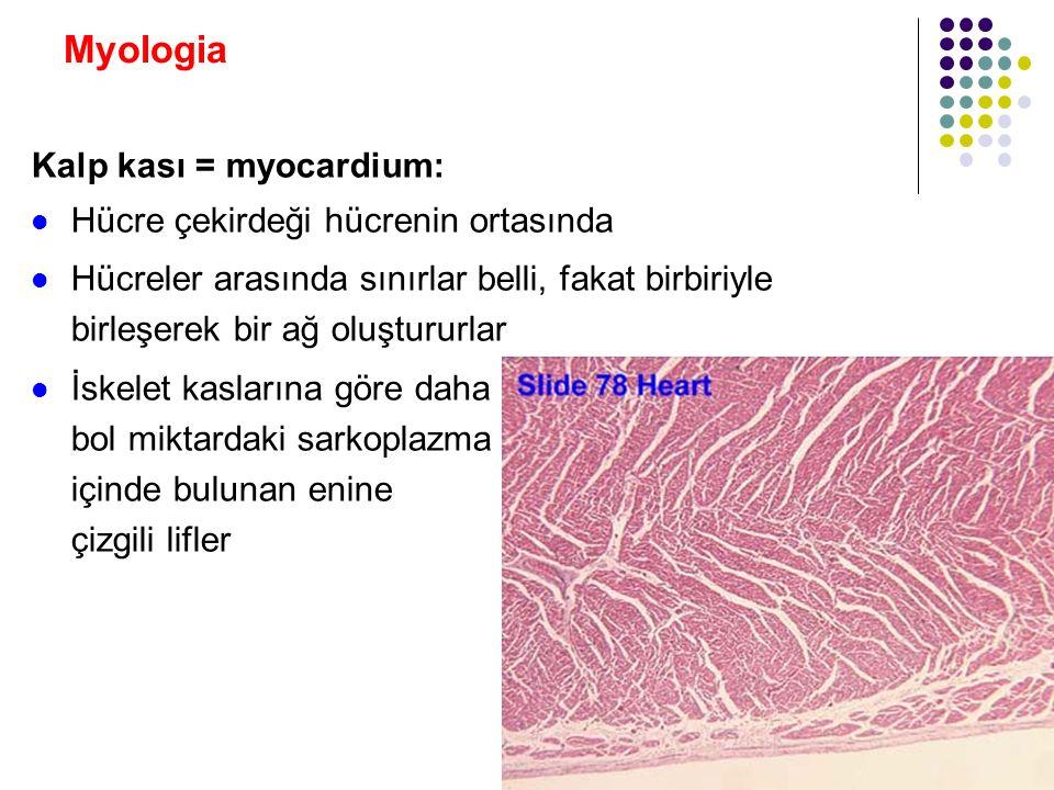 Myologia Kalp kası = myocardium: Hücre çekirdeği hücrenin ortasında