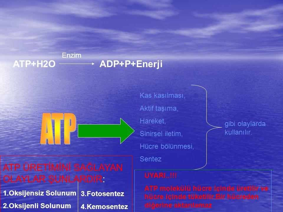 ATP ATP+H2O ADP+P+Enerji ATP ÜRETİMİNİ SAĞLAYAN OLAYLAR ŞUNLARDIR: