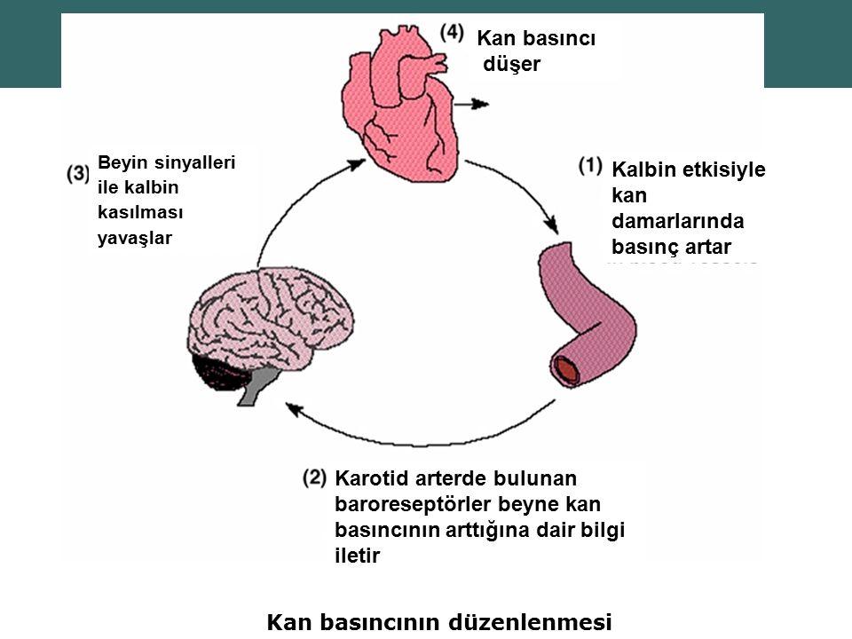 Kan basıncının düzenlenmesi