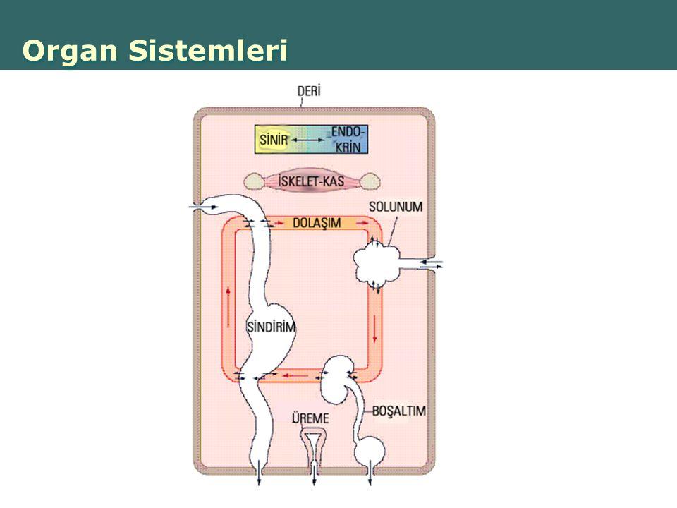 Organ Sistemleri
