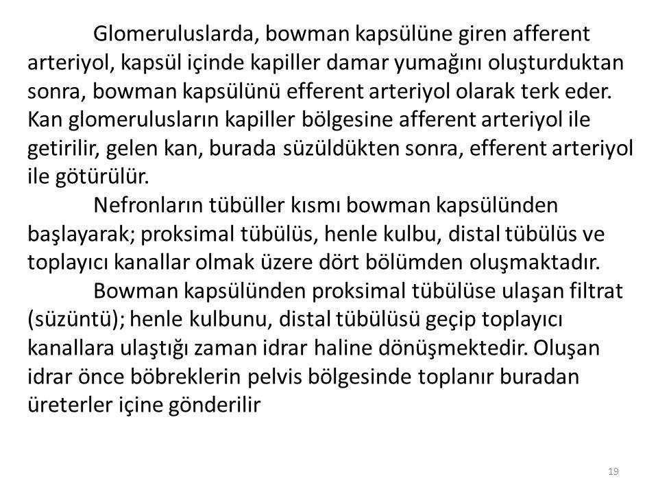 Glomeruluslarda, bowman kapsülüne giren afferent arteriyol, kapsül içinde kapiller damar yumağını oluşturduktan sonra, bowman kapsülünü efferent arteriyol olarak terk eder. Kan glomerulusların kapiller bölgesine afferent arteriyol ile getirilir, gelen kan, burada süzüldükten sonra, efferent arteriyol ile götürülür.