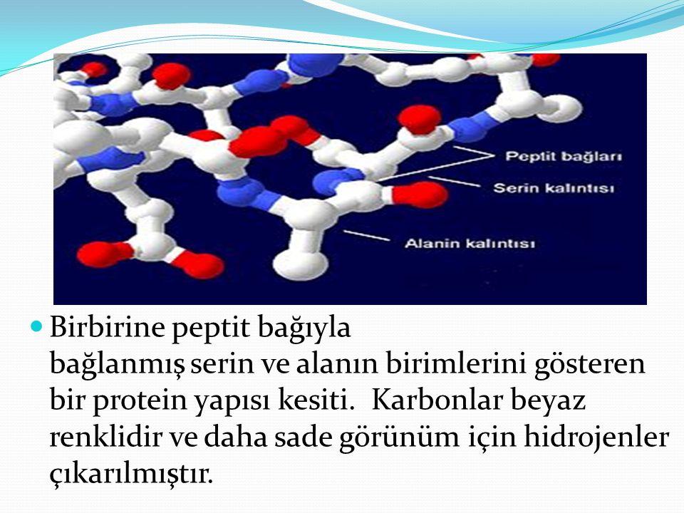 Birbirine peptit bağıyla bağlanmış serin ve alanın birimlerini gösteren bir protein yapısı kesiti.