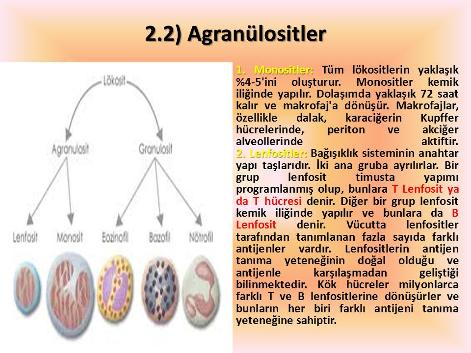 2.2) Agranülositler