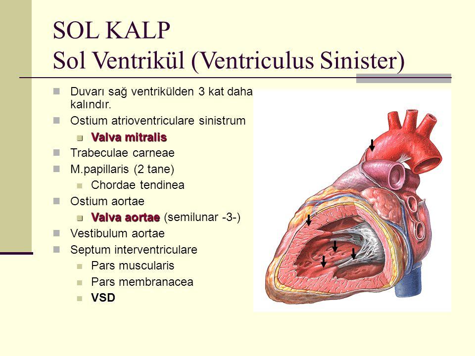 SOL KALP Sol Ventrikül (Ventriculus Sinister)