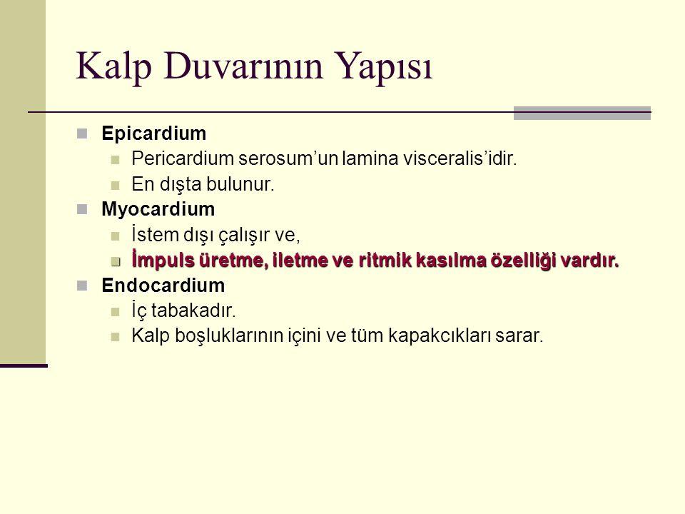 Kalp Duvarının Yapısı Epicardium