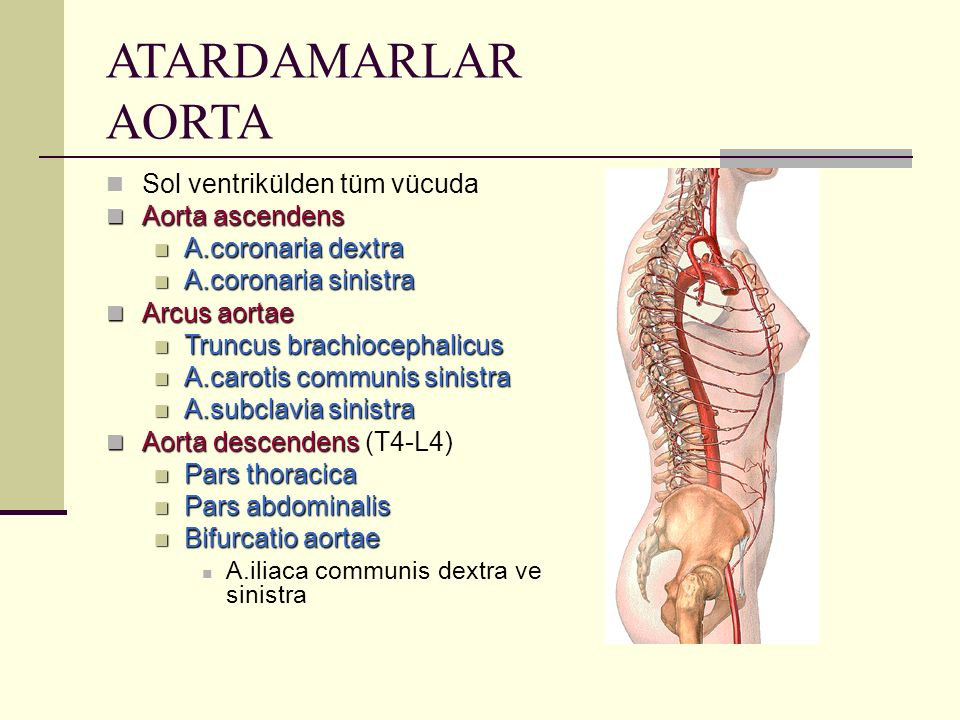ATARDAMARLAR AORTA Sol ventrikülden tüm vücuda Aorta ascendens