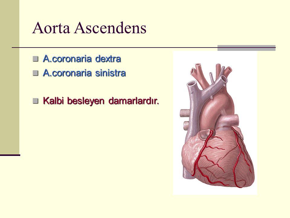 Aorta Ascendens A.coronaria dextra A.coronaria sinistra