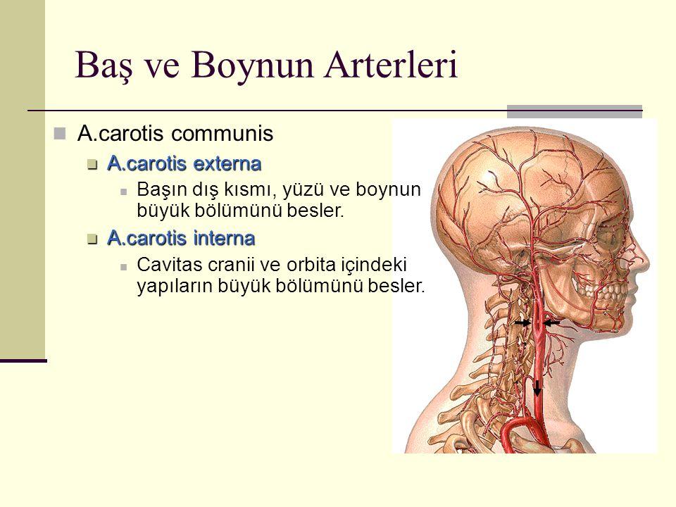 Baş ve Boynun Arterleri
