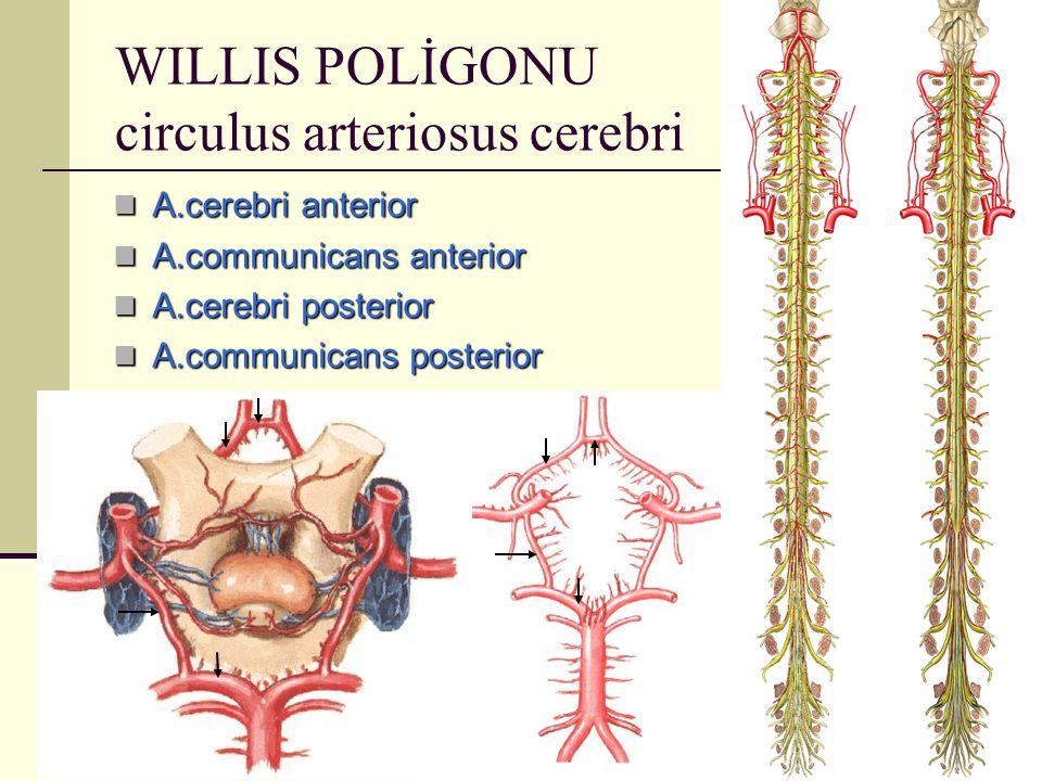 WILLIS POLİGONU circulus arteriosus cerebri