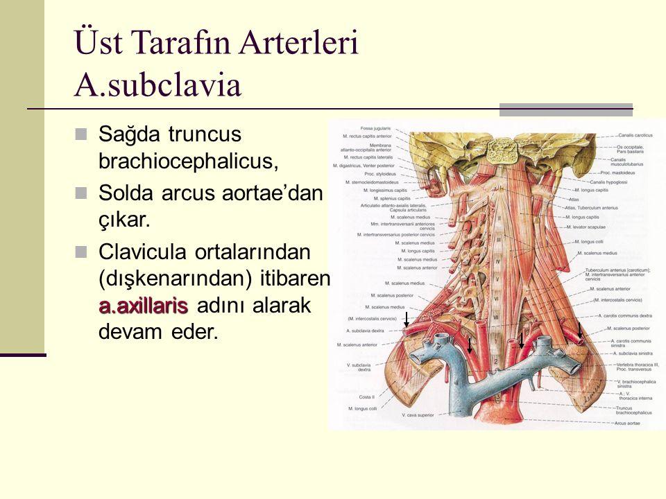 Üst Tarafın Arterleri A.subclavia