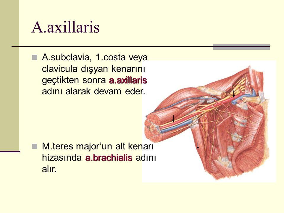 A.axillaris A.subclavia, 1.costa veya clavicula dışyan kenarını geçtikten sonra a.axillaris adını alarak devam eder.