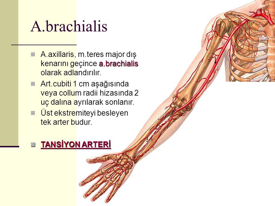A.brachialis A.axillaris, m.teres major dış kenarını geçince a.brachialis olarak adlandırılır.