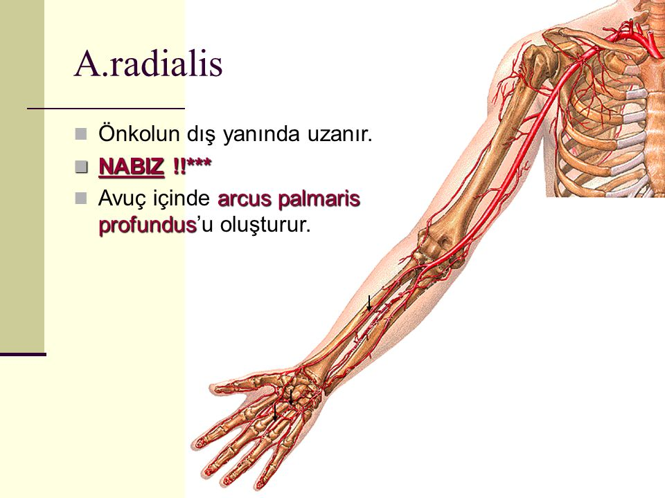 A.radialis Önkolun dış yanında uzanır. NABIZ !!***