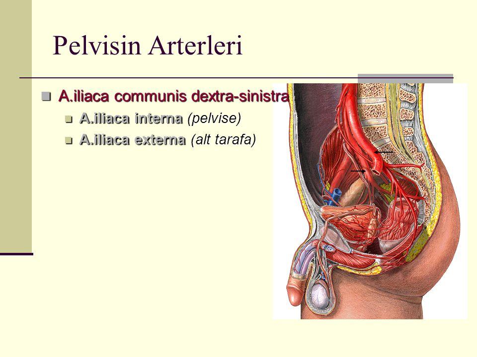 Pelvisin Arterleri A.iliaca communis dextra-sinistra