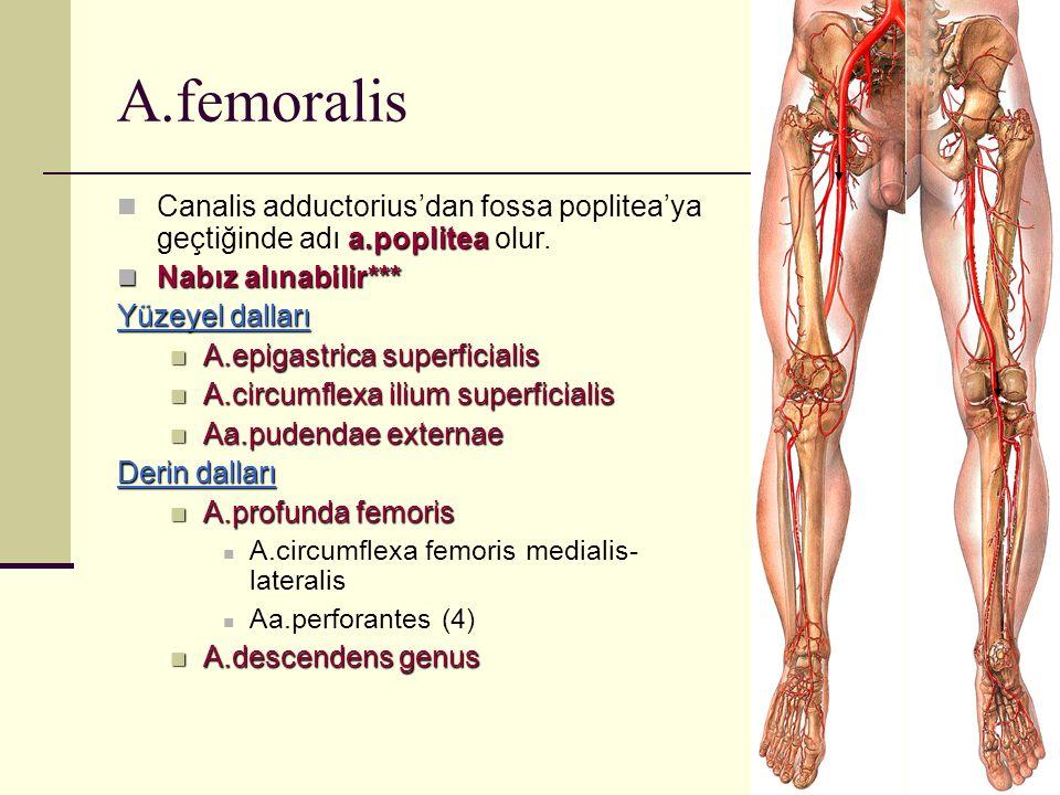 A.femoralis Canalis adductorius'dan fossa poplitea'ya geçtiğinde adı a.poplitea olur. Nabız alınabilir***