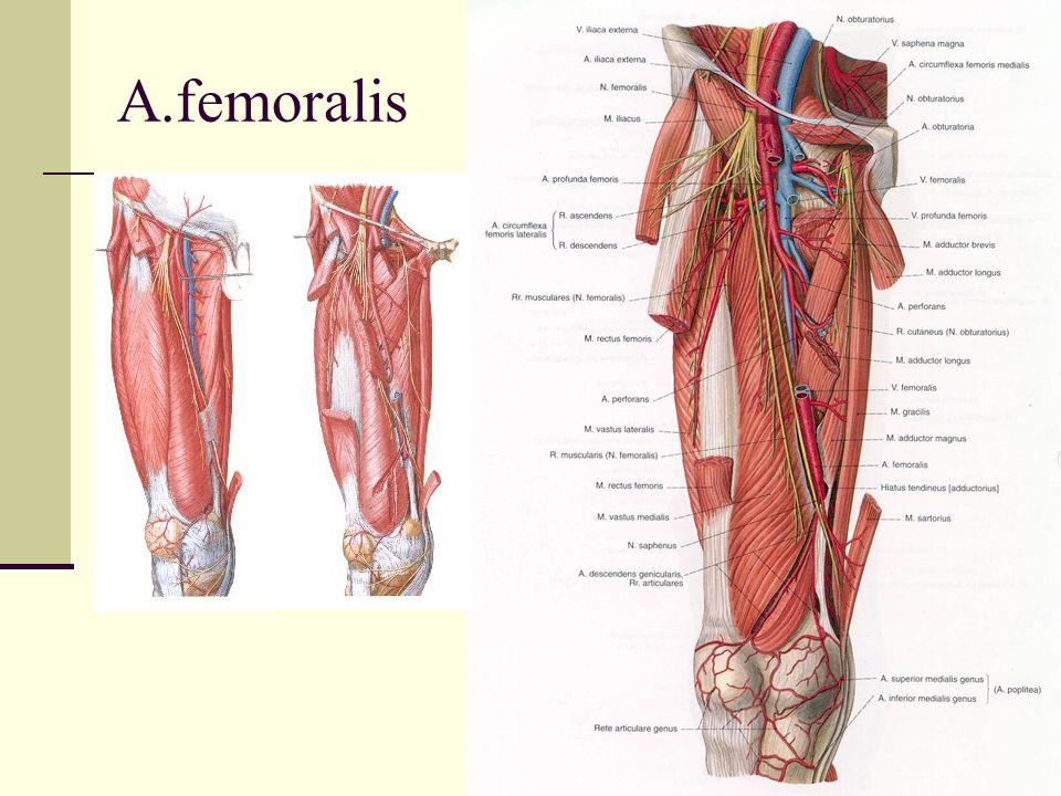 A.femoralis