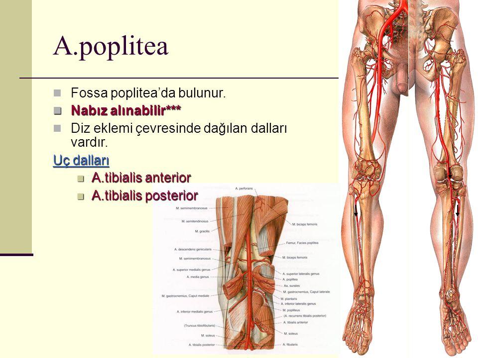 A.poplitea Fossa poplitea'da bulunur. Nabız alınabilir***
