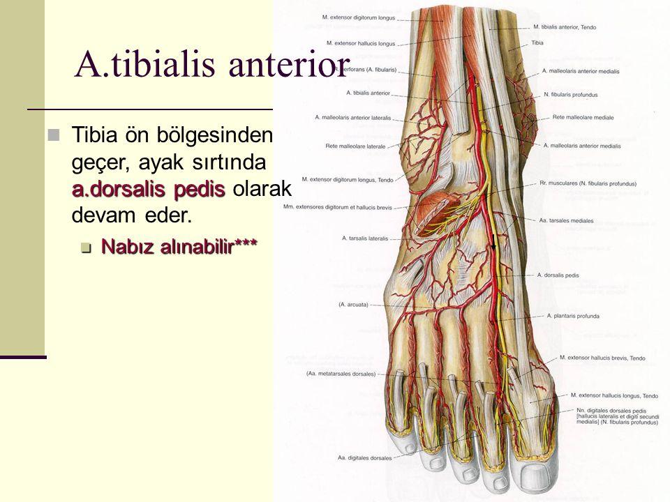 A.tibialis anterior Tibia ön bölgesinden geçer, ayak sırtında a.dorsalis pedis olarak devam eder.