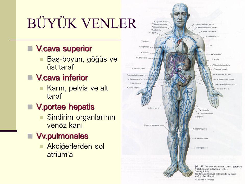 BÜYÜK VENLER V.cava superior V.cava inferior V.portae hepatis