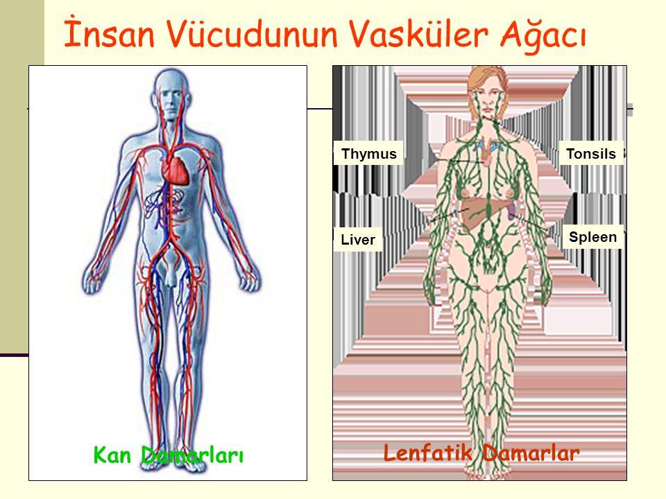 İnsan Vücudunun Vasküler Ağacı