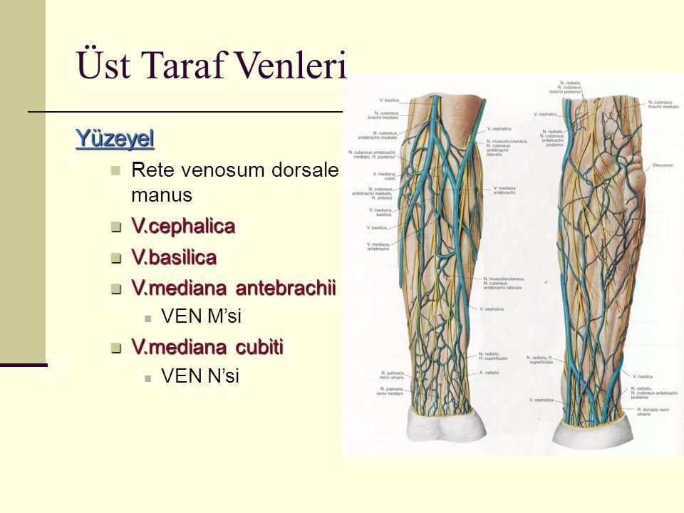 Üst Taraf Venleri Yüzeyel Rete venosum dorsale manus V.cephalica