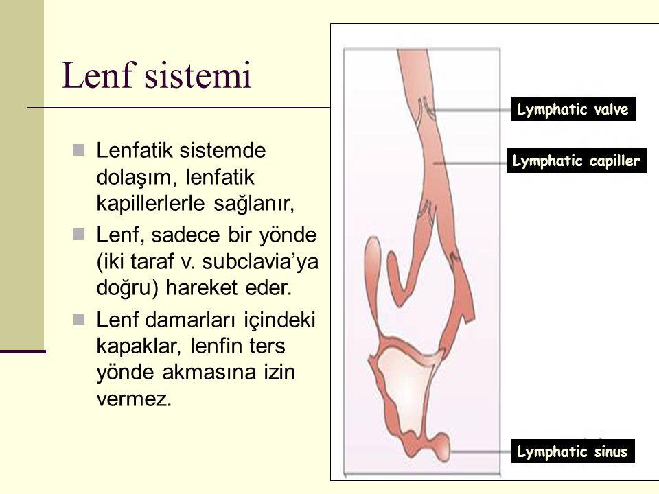 Lenf sistemi Lymphatic valve. Lymphatic capiller. Lymphatic sinus. Lenfatik sistemde dolaşım, lenfatik kapillerlerle sağlanır,