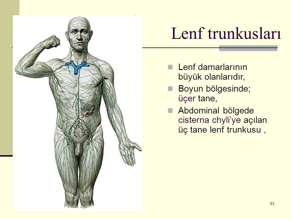 Lenf trunkusları Lenf damarlarının büyük olanlarıdır,