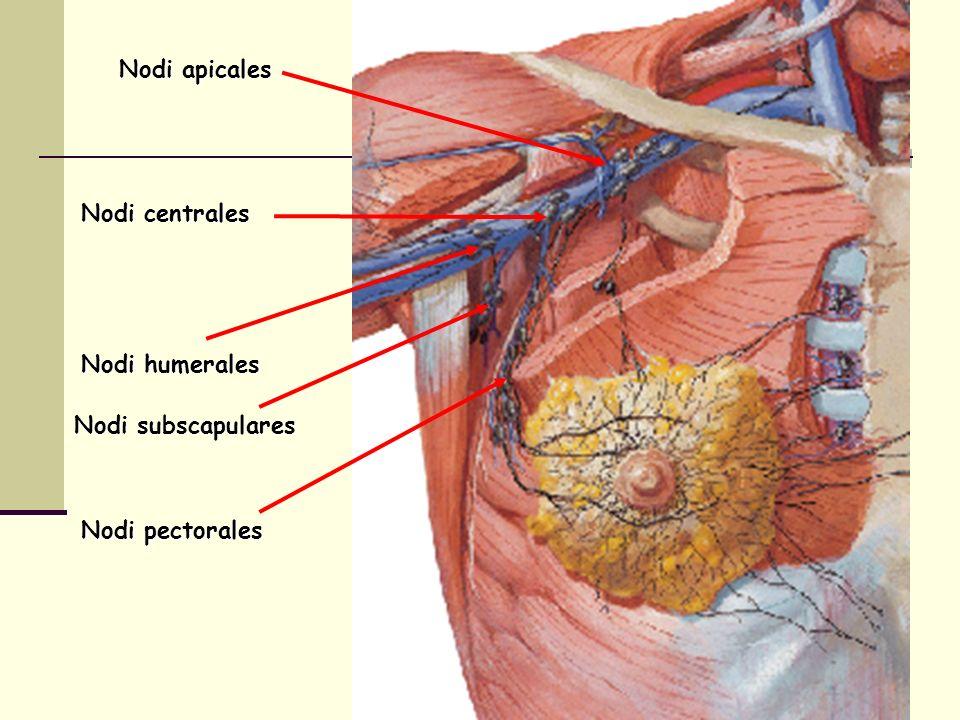 Nodi apicales Nodi centrales Nodi humerales Nodi subscapulares