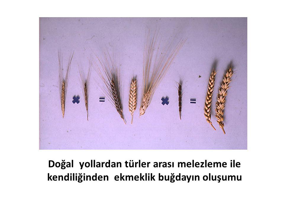 Doğal yollardan türler arası melezleme ile kendiliğinden ekmeklik buğdayın oluşumu