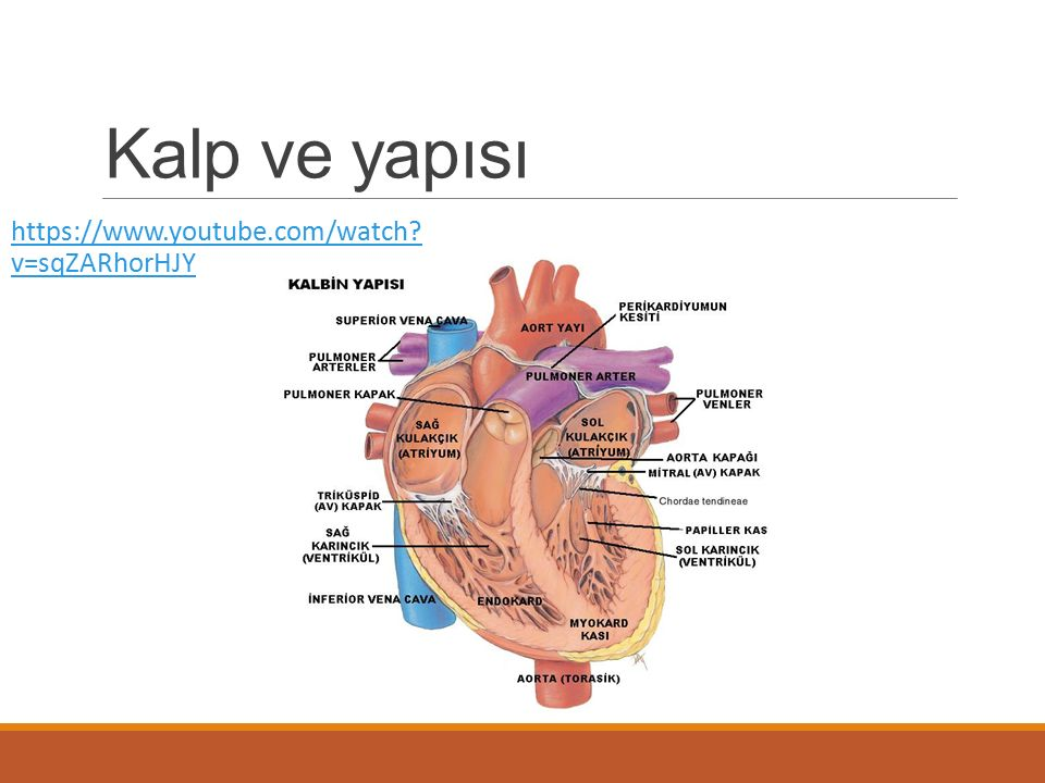 Kalp ve yapısı https://www.youtube.com/watch v=sqZARhorHJY