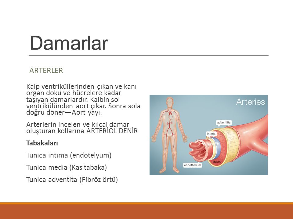 Damarlar ARTERLER.