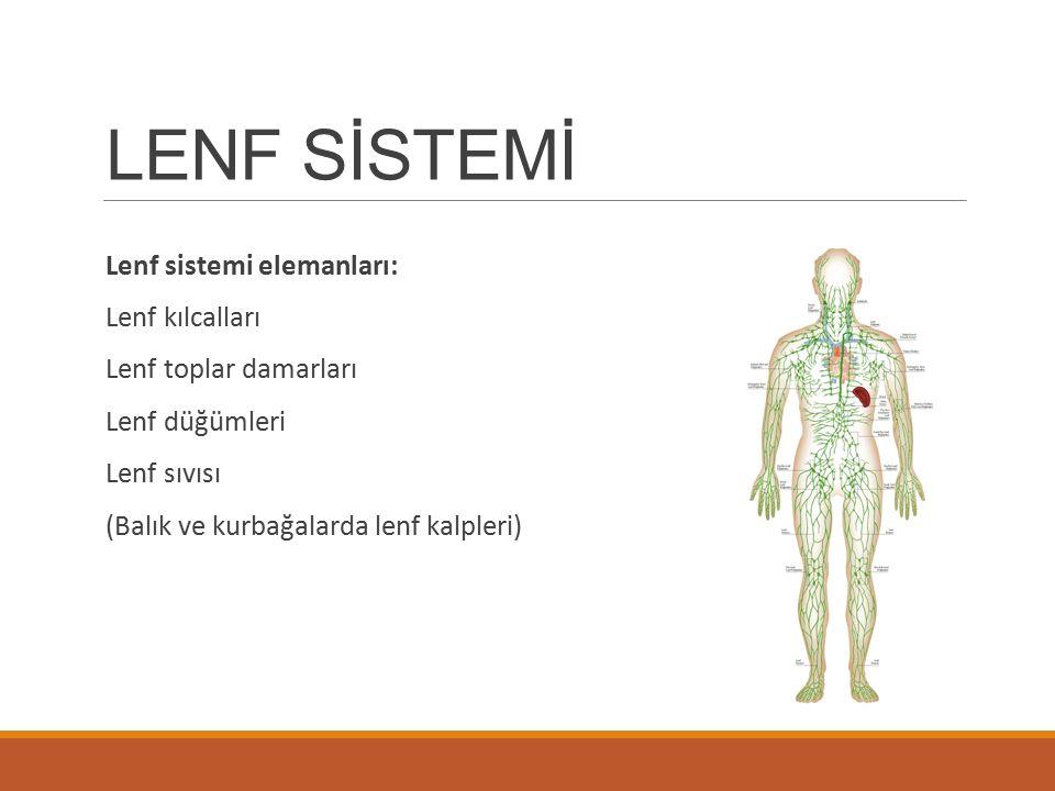 LENF SİSTEMİ Lenf sistemi elemanları: Lenf kılcalları