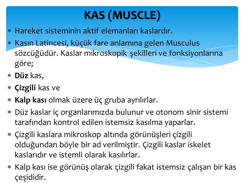 KAS (MUSCLE) Hareket sisteminin aktif elemanları kaslardır.